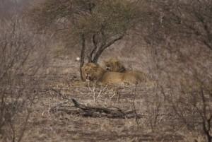 2 lions safari chasse zimbabwe