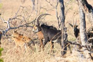 Antilope Sable safari chasse Mozambique ©GBL
