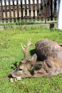 Brocard JFD chasse en Serbie
