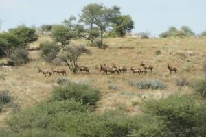 Bubales Okatore safari chasse namibie
