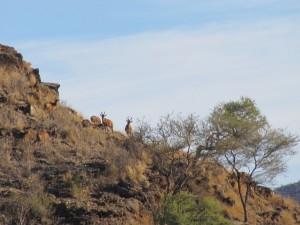 Bubales safari chasse namibie