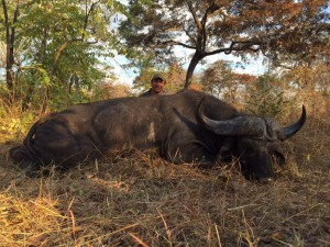 Buffle caffer Antoine Selous safari Tanzanie