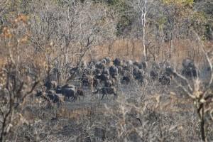 Buffles caffer Selous safari chasse Tanzanie