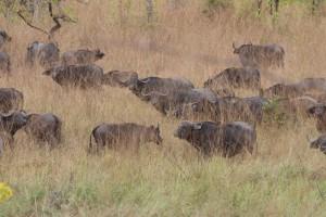 Buffles caffer en troupeau safari chasse Tanzanie
