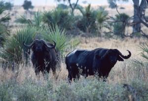 Buffles safari chasse tanzanie