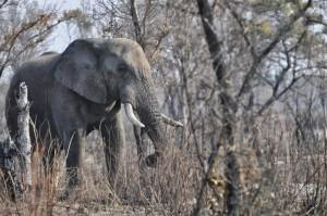 Chasse à l'éléphant Namibie