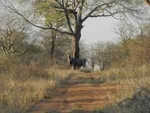 Eland de Patterson safari chasse zimbabwe