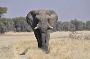 Elephant mâle safari chasse Namibie