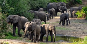 Elephants safari chasse Mozambique