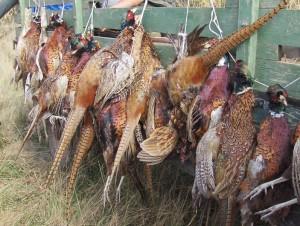 Faisans chasse Serbie