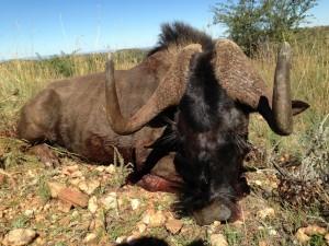 Gnou noir JF safari chasse namibie
