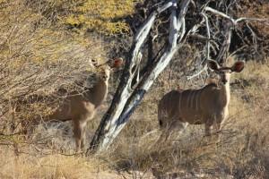 Grand koudou femelle safari chasse namibie