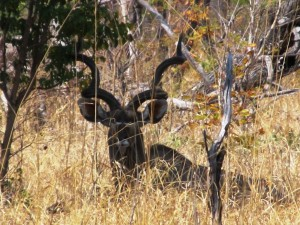Grand koudou safari chasse Namibie