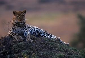 Léopard Pays Masai Tanzanie