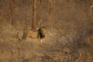 Lion photo Pierre safari chasse zimbabwe