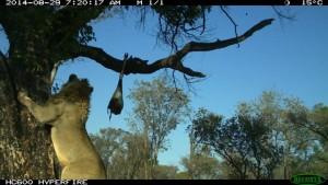 Lion safari chasse Namibie