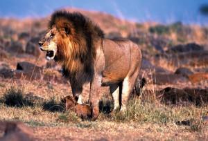 Lion safari tanzanie