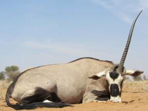 Oryx bizarre safari chasse namibie