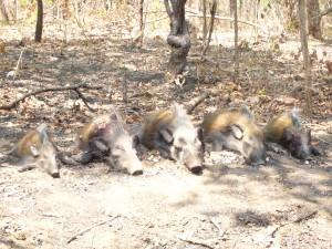Quintuplé de potamochère safari chasse Mozambique