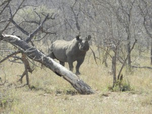 Rhinocéros noir safari chasse zimbabwe