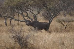 Rhinocéros safari chasse zimbabwe