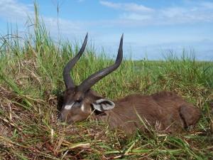 Sitatunga Daniel safari chasse Tanzanie