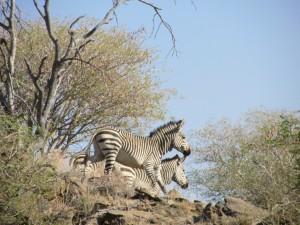 Zèbres de montagne safari chasse Namibie