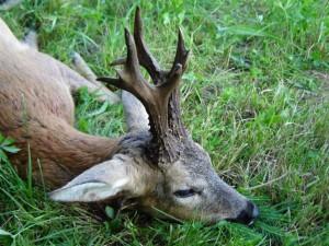 beau brocard serbe chasse