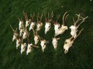 brocards vojvodine chasse en serbie