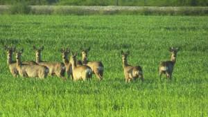 chevreuils serbie chasse avril
