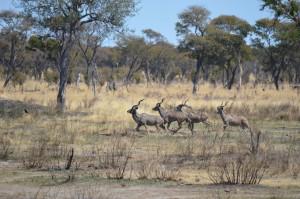 grand koudou mâles safari chasse namibie