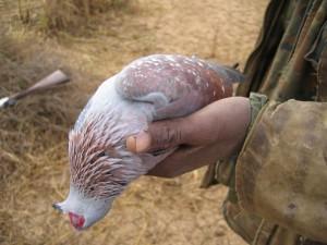 pigeon ronier