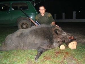 sanglier chasse en serbie