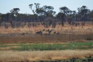 troupeau d oryx safari chasse namibie