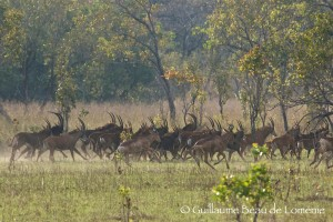 troupeau d'antilope sable safari chasse Mozambique ©GBL