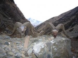 Argalis tués par les loups Kirghizstan