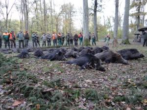 Battue de sangliers en hiver chasse en Croatie