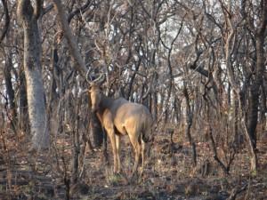 Bubale Major safari chasse Cameroun