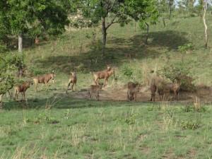 Bubales à la saline Cameroun