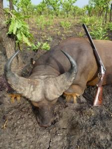 Buffle GG Faro safari chasse Cameroun