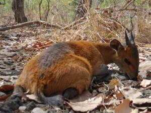 Céphalophe à Flanc Roux Faro safari chasse Cameroun