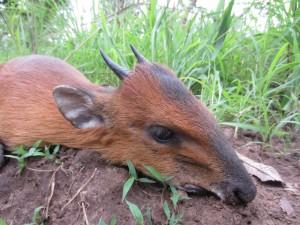 Céphalophe à flanc roux safari chasse Cameroun