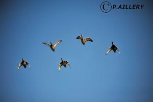 Copyright P.Aillery Nettes Pepocasas femelles et mâle