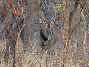 Eland de Derby Faro safari chasse Cameroun photo F Bajard