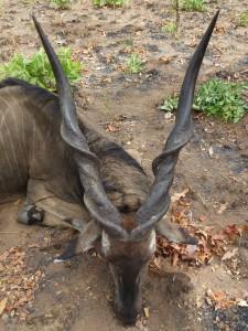 Eland de Derby Guy Gillet safari chasse Cameroun