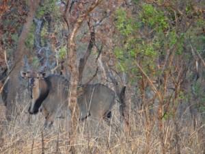 Eland de Derby safari chasse Cameroun photo F Bajard