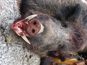 Grand sanglier chasse en battue en Croatie
