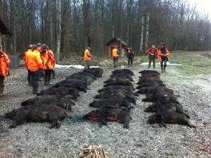 Grande battue de sanglier en Croatie chasse