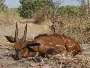 Guib Harnaché Faro safari chasse Cameroun