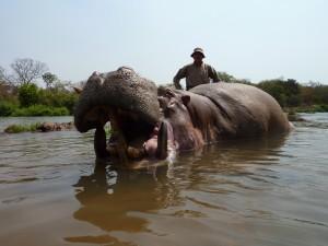 Hippopotame Vina safari chasse Cameroun